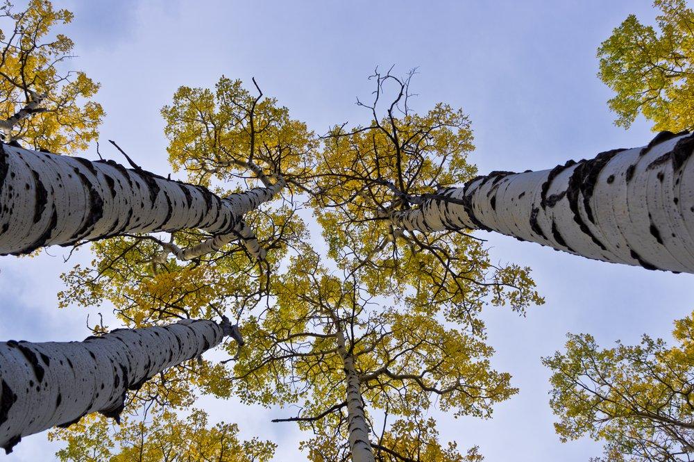 Quaking Aspen Tree Care
