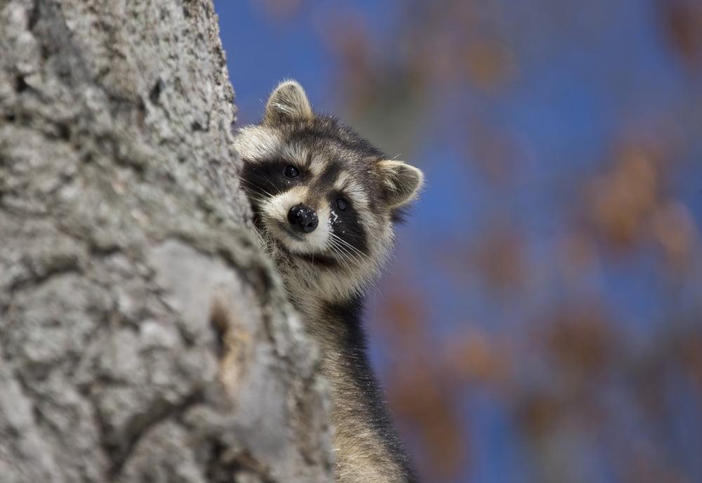 Raccoon Prevention