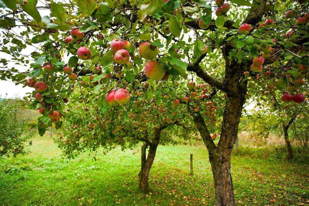 fruit trees in Utah
