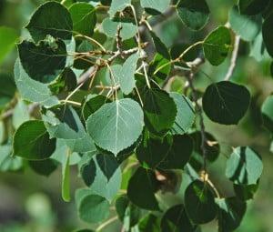quaking-aspen-leaves