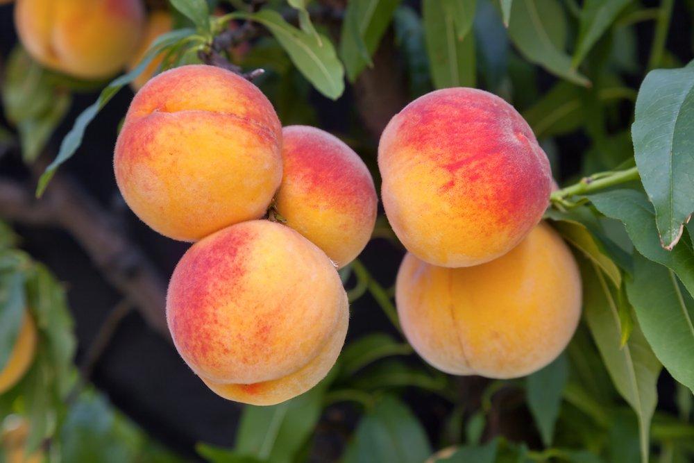 utah fruit tree