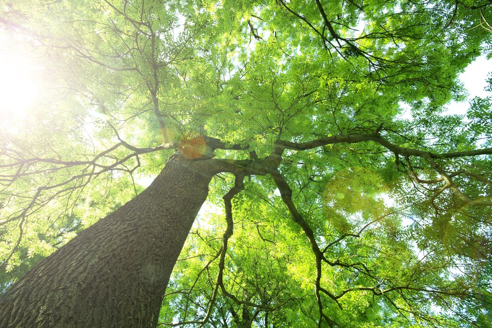 Tree Disease Control:Treating Trees Affected by Anthracnose
