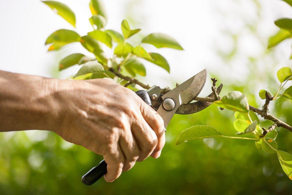 basics tools tips tree pruning