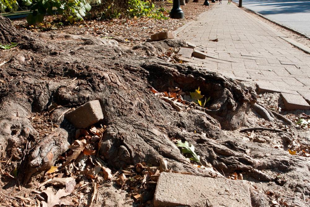 tree root contact sidewalks walkways