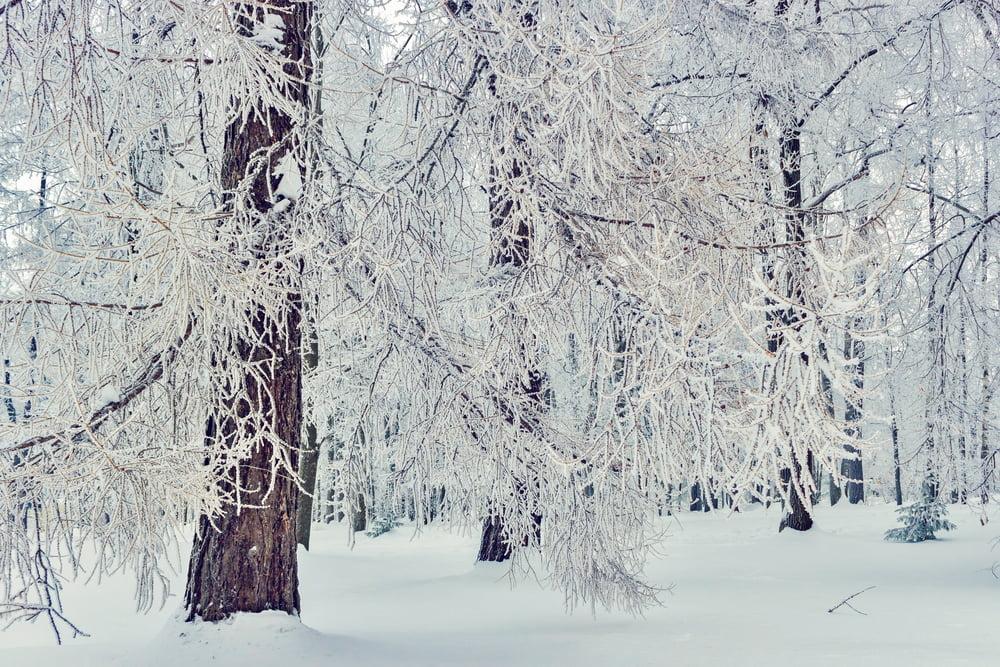 winter injury evergreen broadleaf trees